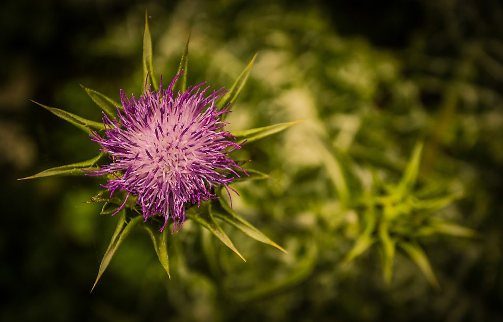 thistle natural remedy
