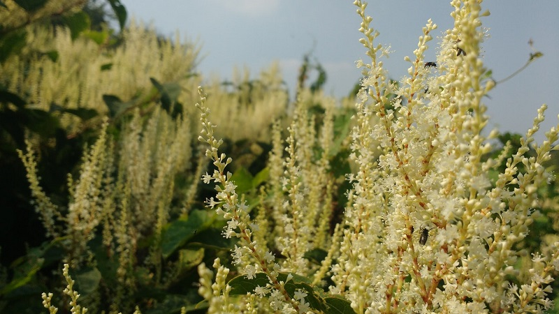 The truth about Japanese knotweed