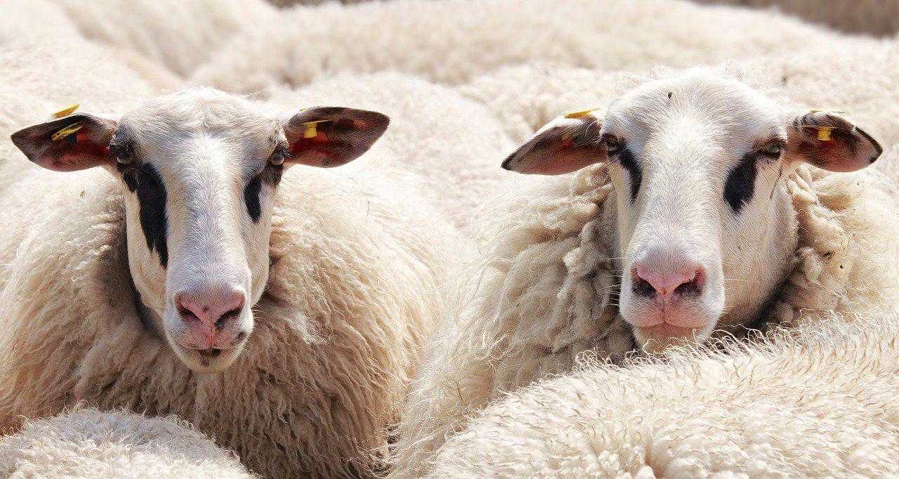 Un mouton à 5 pattes n'avance pas plus vite !