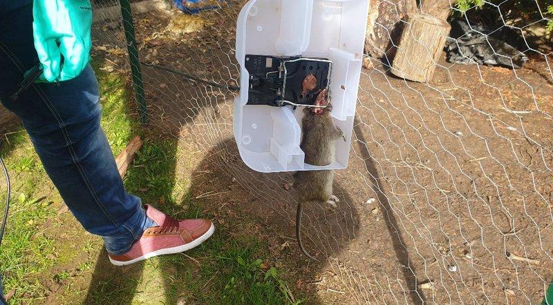 Piège tapette rat
