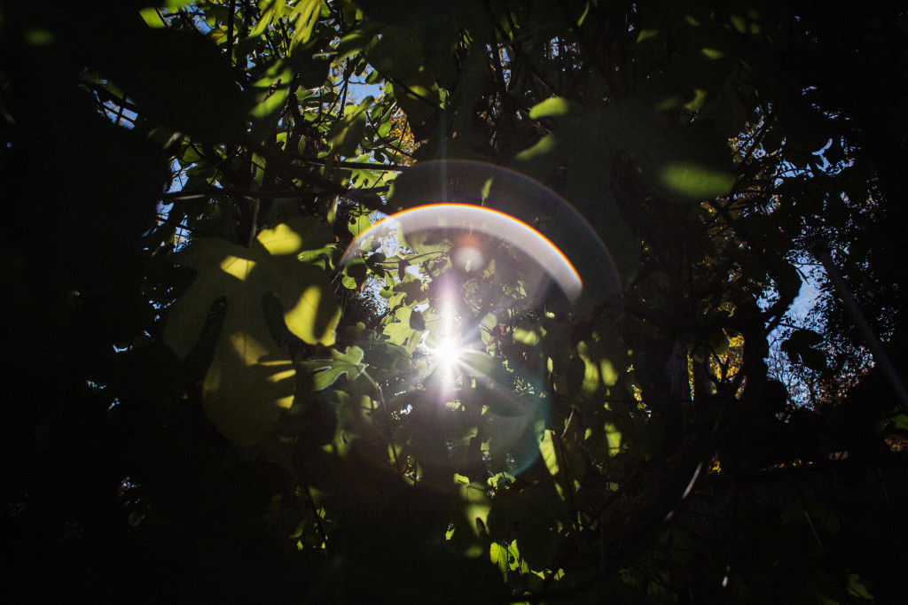 Sunlight through fig tree leaves