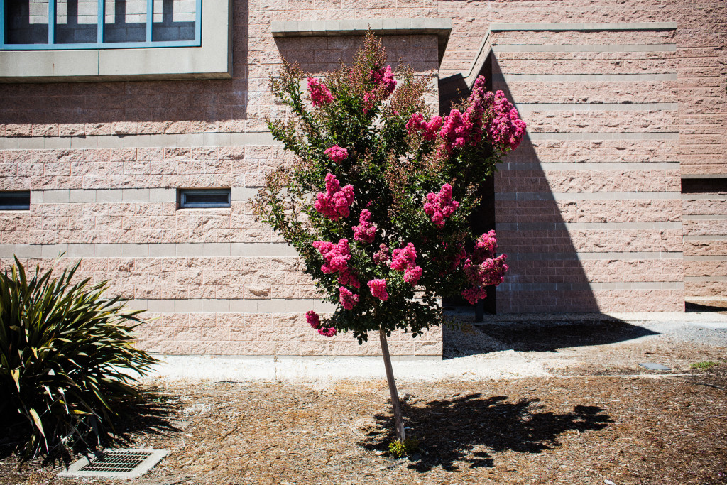 Small tree with pink blossoms