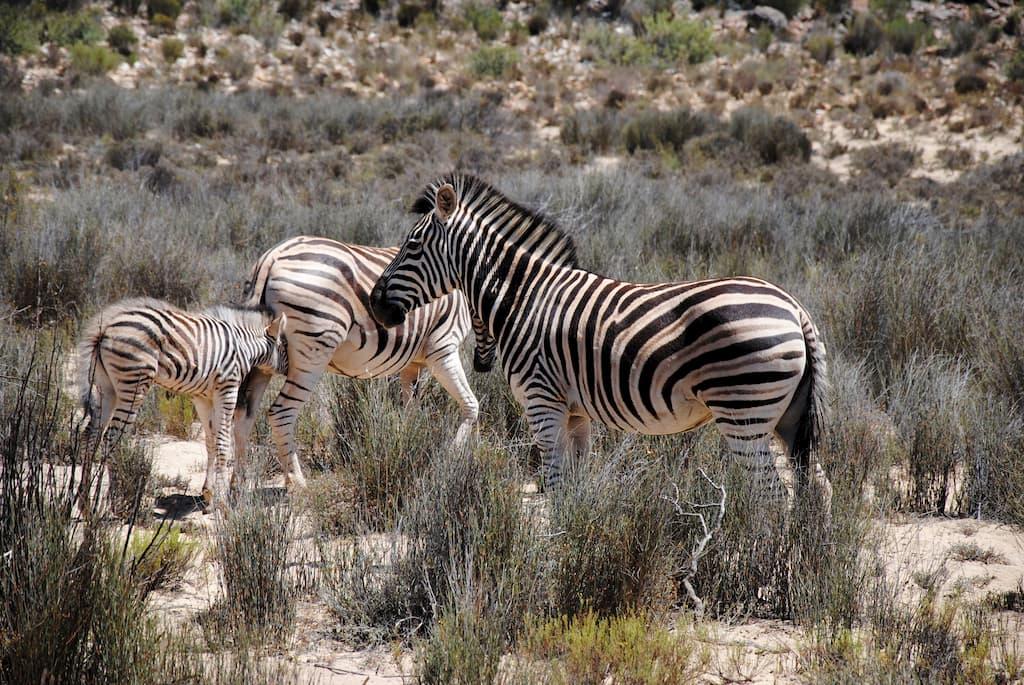 Un gruppo di zebre all'Aquila Private Reserve Game