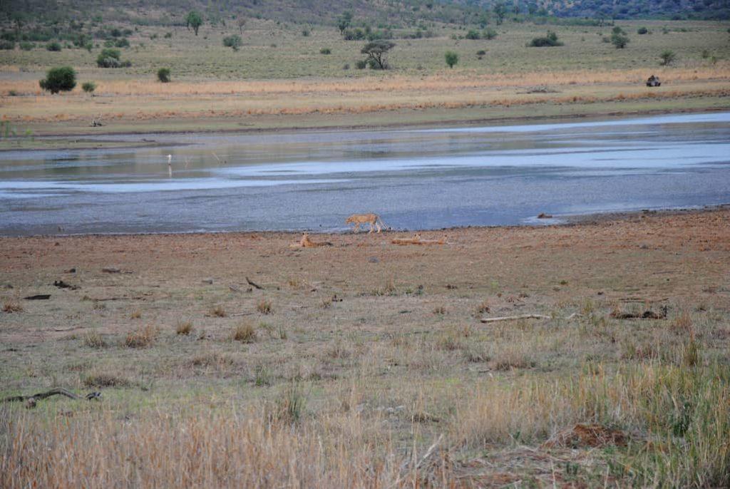 Piccolo branco di ghepardi nella savana del Sudafrica