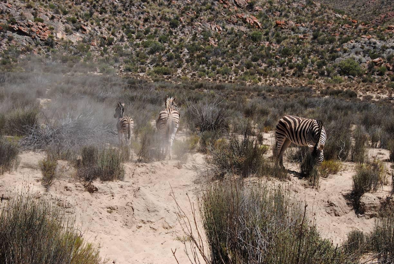 Tre zebre avvistate durante un safari vicino a Città del Capo