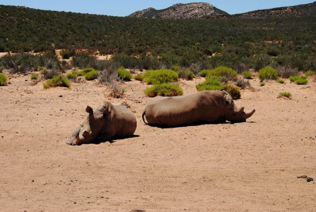 Coppia di rinoceronti all'Aquila Private Game Reserve