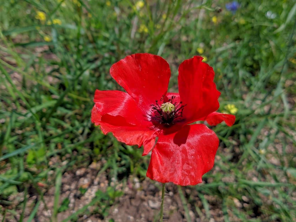Ritratto di un fiore nella piana di Castelluccio