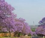 Jacaranda and Historical Walk : Loftus Park