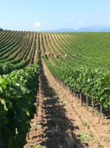 Abdyika vingård