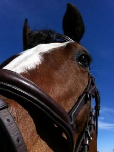 Hästnuna