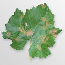 Plasmopora viticola - mildiou