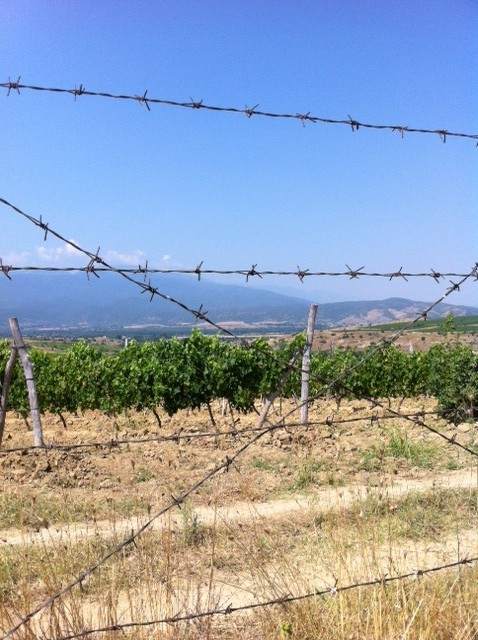 Taggtråd vingård