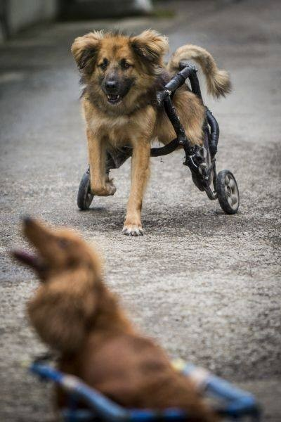 Caring Animal Hospital Provides Custom Wheelchairs for All Disabled Dogs