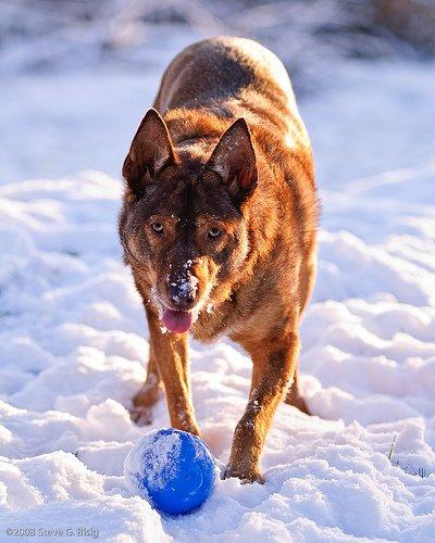 My dog playing with her favorite ball in the snow.