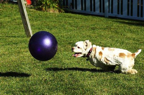 We're dog sitting this weekend. This is our neighbors dog Joey playing with one of Hannah's ball in the backyard.