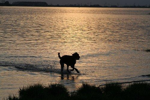 Hund an der Elbe am Spielen. Dog is playing in the water on the beach - taking ball