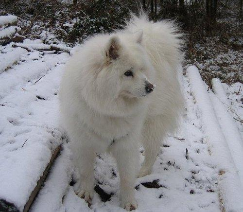 my fluff ball of a dog playing in the snow febuary 2008
