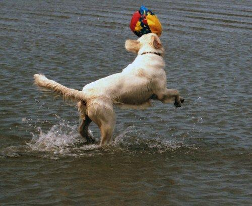 Cilas the dog playing with a ball in the water 1