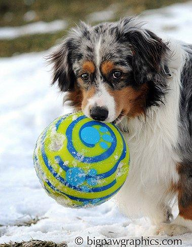 blue merle mini aussie dog playing with a giggle ball in the snow