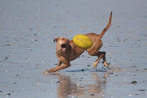Dog playing with a ball on the beach in Blouberg