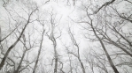 Snow falling down through barren trees upsate New York forest looking up
