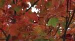Fall leaves panning shot three