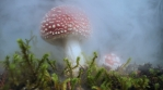 Beautiful Amanita Muscaria mushroom appearing in swirling fog, Iceland