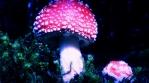 Amanita Muscaria mushroom close up hyperlapse Iceland cool colors