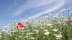 chamomile flowers nature background