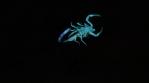 Scorpion 006