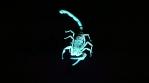 Scorpion 007
