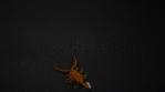 Scorpion 026