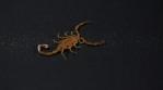 Scorpion 029
