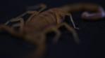Scorpion 032