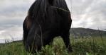 Black Icelandic horse grazing in open pasture close up handheld summer