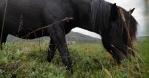 Black Icelandic horse grazing in open pasture close up handheld
