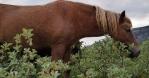 Icelandic horse close up grazing free range handheld looking at camera
