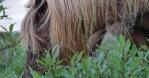 Icelandic horse foraging in green pasture close up macro