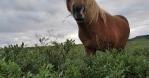 Icelandic horse grazing free range looking at camera close up handheld