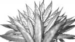 BG Reveals Cannabis Leaf - Minimal White