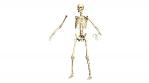 Rotating Animated 3D Skeleton on White background