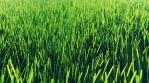 Beautiful video of morning green grass.