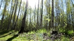 Sunny springtime birch forest