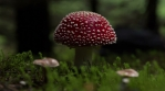 amanita muscaria mushroom artistic hyperlapse fast spin