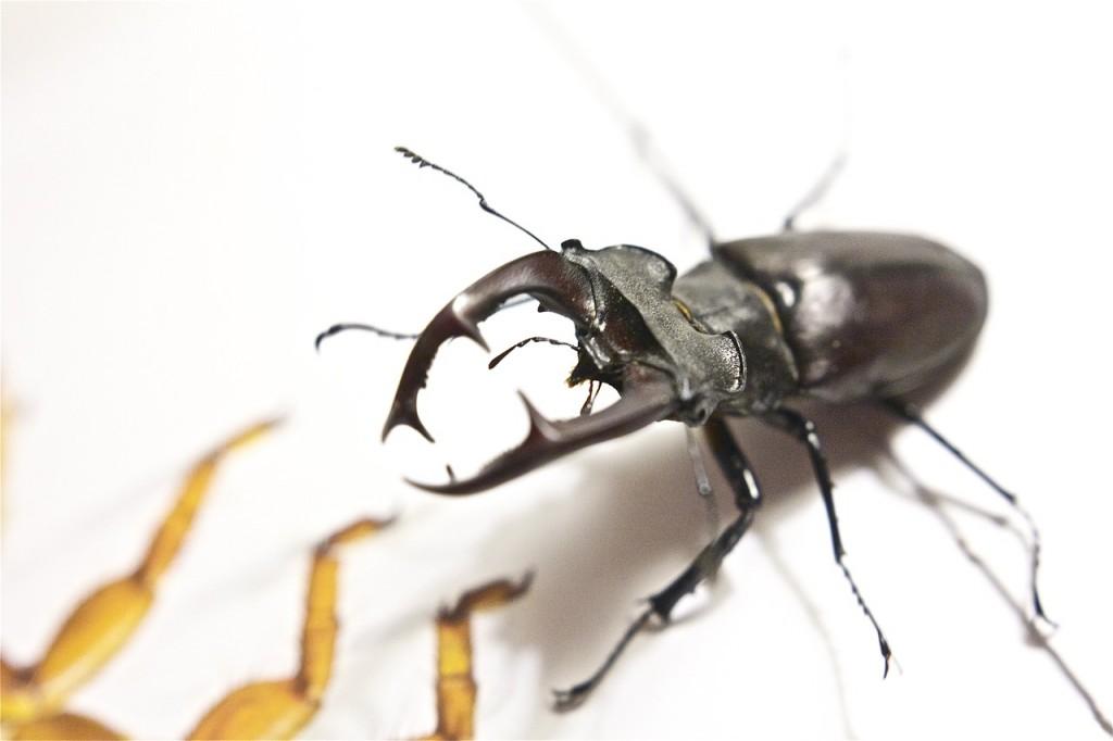 stag-beetle-591145_1280
