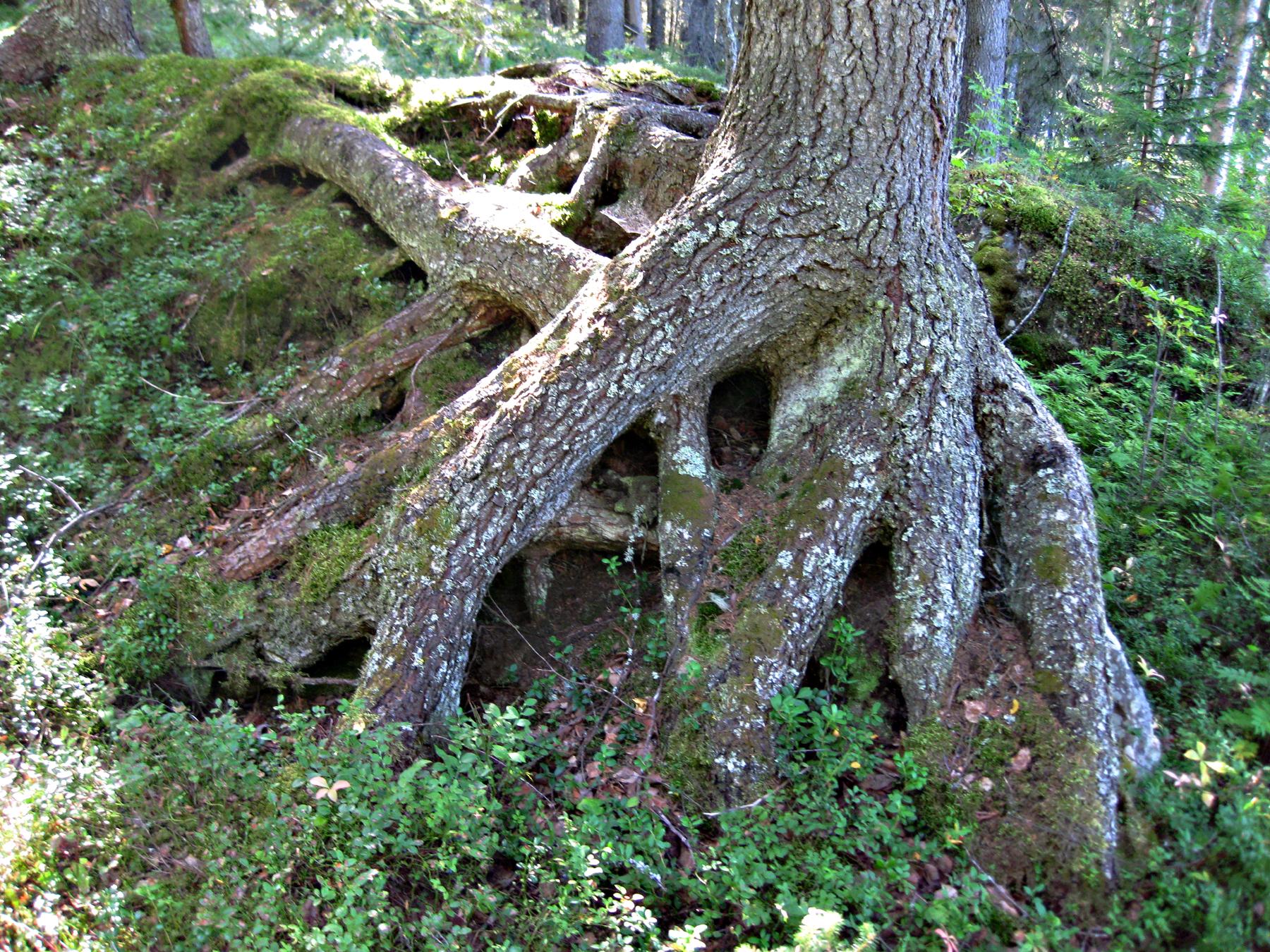 Granrötter