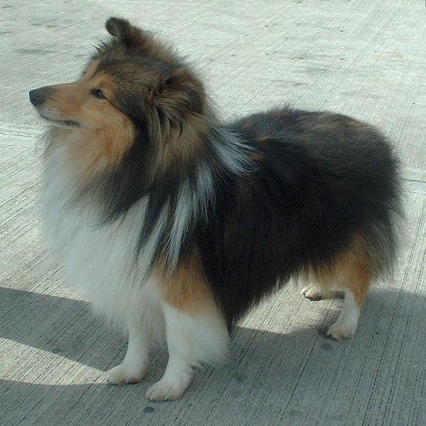 Shetland_Sheepdog_600