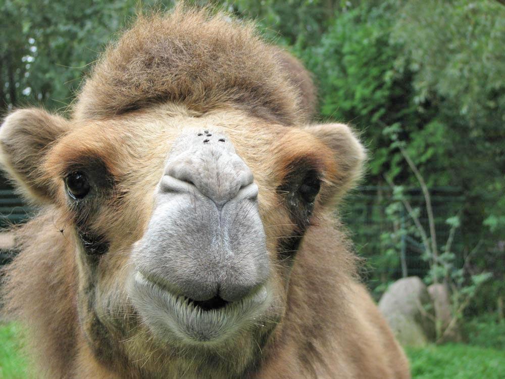 Camelus_bactrianus