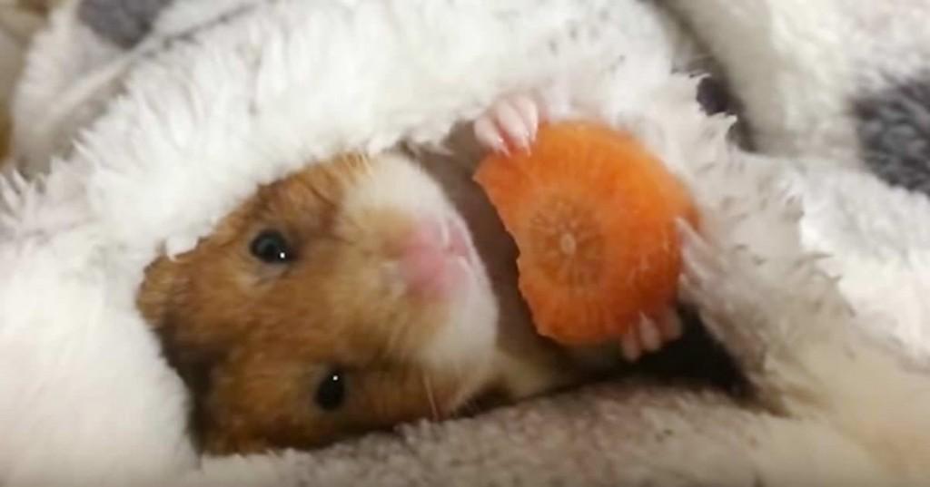 hamster-1024x537
