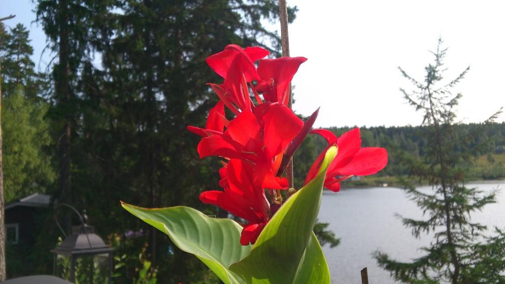 Kallan i blom